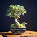 Ligustrum Bonsai Complete Owner's Guide