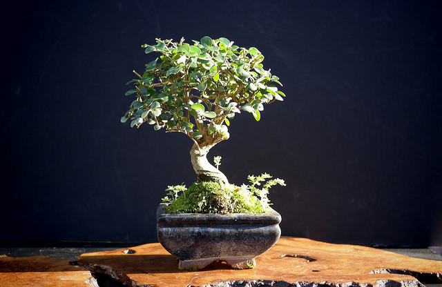 ligustrum-bonsai