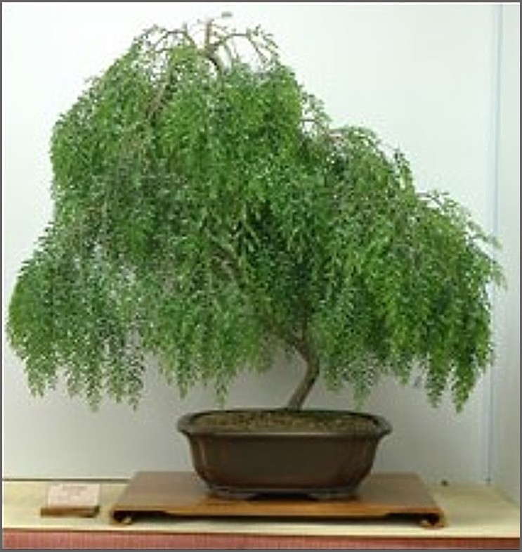 Weeping Willow Bonsai Complete Owners Guide Tenth Yard